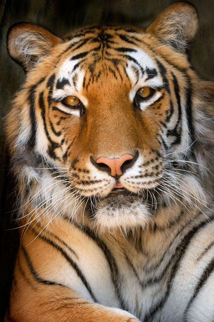 For some reason, Tigers truly amaze me. If you really think about it, House-cats are like mini-tigers. We always want miniature pigs and miniature horses... we have miniature tigers living in our houses, and we don't even think about that! Tigers are just like our house-cats, but they're instincts are just on a much larger scale. I just think it's kind of cool.