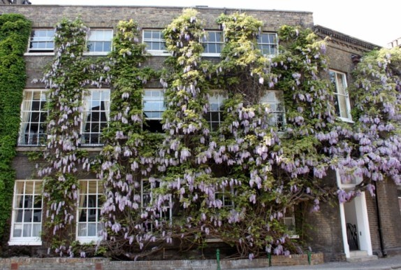 The oldest Wisteria in the UK    At Fullers Brewery, photo by flickr user 'curry15'