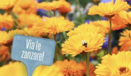 Piante anti zanzare: la calendula. Come piantarla e curarla | Giardinieri in affitto