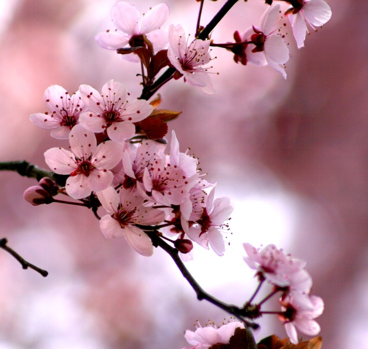 163 Best Images About Cerezo On Pinterest Prunus Apple