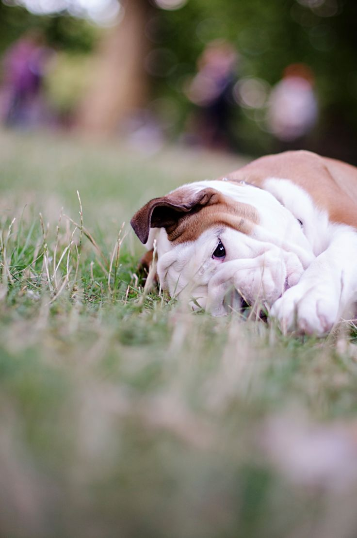Bulldog Puppy by The London Phodographer