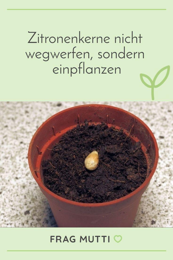 Zitronenkerne Nicht Wegwerfen Sondern Einpflanzen Frag Mutti In 2020 Garten Pflanzen Pflanzideen Pflanzen