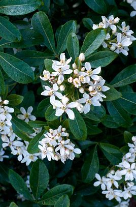 Choisya ternata  C. ternata is a rounded, medium-sized bushy evergreen shrub, with dark, glossy green leaves divided into three broad leaflets. Flowers pure white, scented, often appearing fitfully into winter
