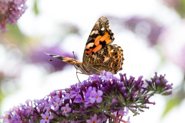 Vanessa cardui by Anja Wessels on 500px
