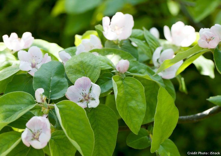 fleurs de cognassier