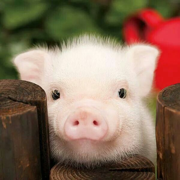How can I love such a dirty animal and I love bacon?! I want one, if it made any sense
