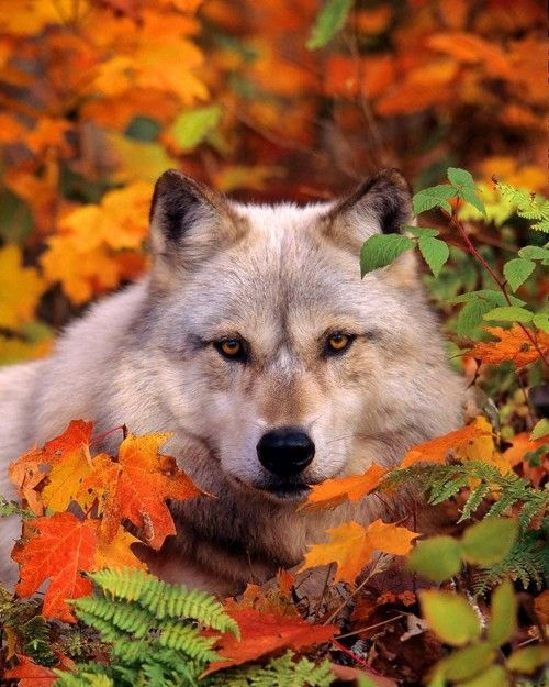 Beautiful wolf in fall leaves.