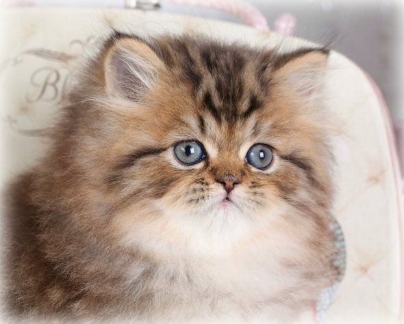 Shaded Golden Persian Kitten, Pooh Bear, Doll Face ...