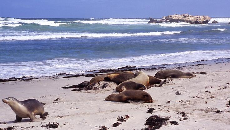 Lions de mer à Kangaroo Island
