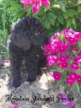 Please note this pup is NOT still for sale. Visit MountainStandardPoodle.com for pups that are still for sale. Mountain Standard Poodle-Standard poodle puppies for sale