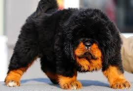 Google Image Result for http://adogbreeds.com/wp-content/uploads/2013/01/Tibetan-Mastiff-Puppies.jpg