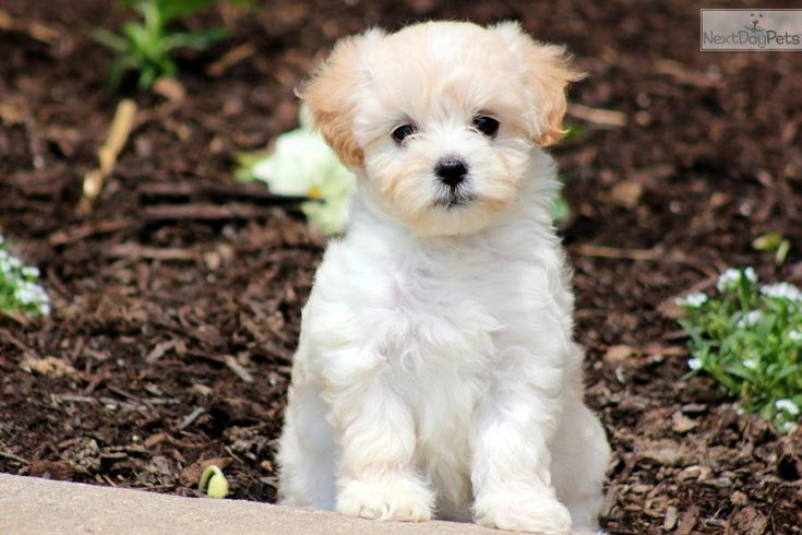 You'll love this Female Malti Poo - Maltipoo puppy looking for a new home.