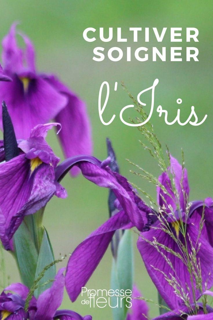 Les Iris sont de jolies plantes bulbeuses vivace. Suivez les conseils de nos experts pour obtenir de belles floraisons.