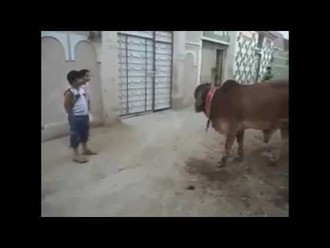 Videos For Fun: Funny Cow Video | Whatsapp Funny Video | Funny Ind...