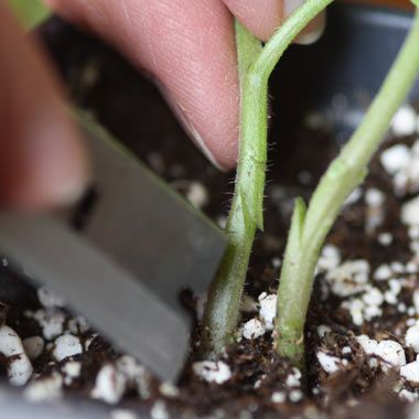 A beginner's guide to grafting tomatoes. | From Organic Gardening