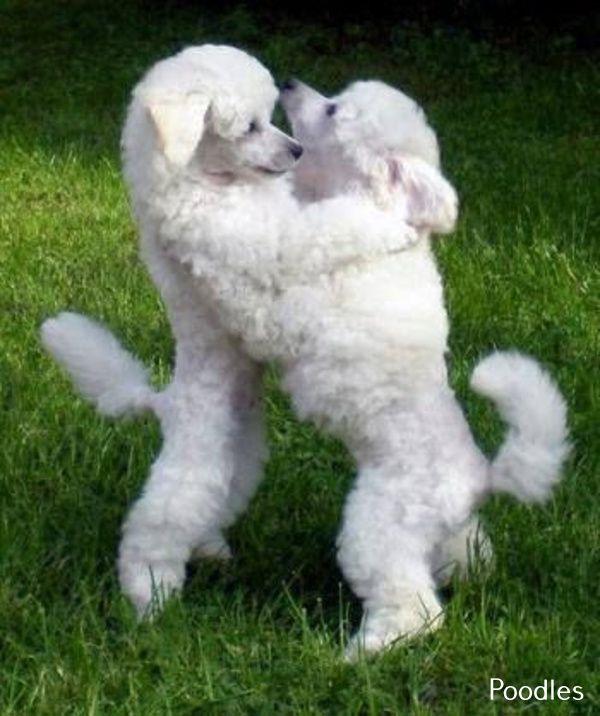 Toy Poodle Adult Poodle Dogs Dog Breeds