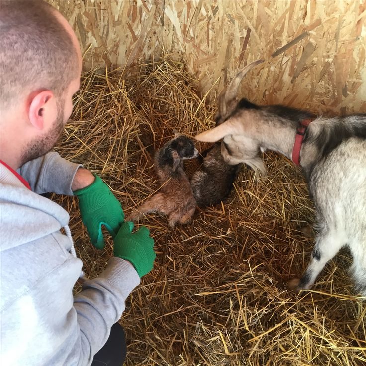 Baby goats just arrived! Surprise! Surprise!