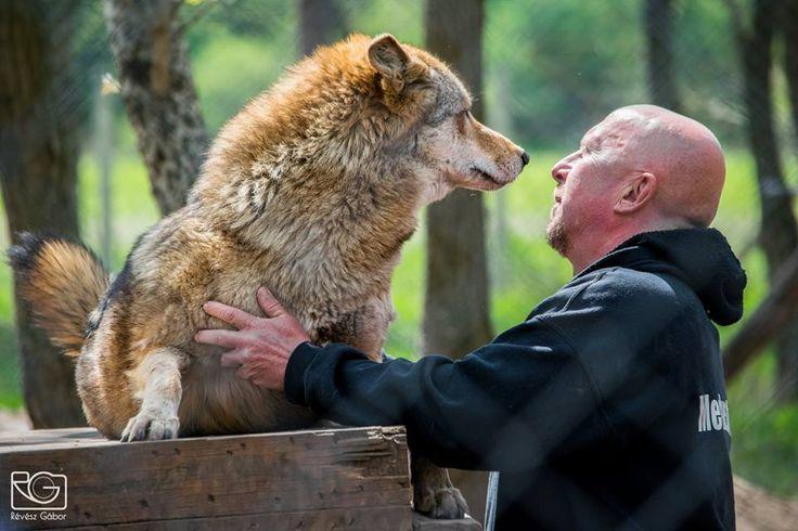 #wolffeed #medvefarm #veresegyház #veresegyhaz #bearfarm #zoo #feedingshow #szilágyi