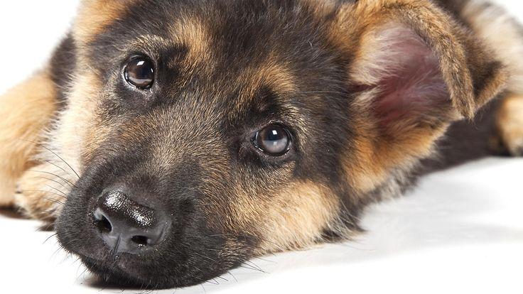 Saksanpaimenkoirat ovat omistajiensa tapaan itsenäisiä, mutta luotettavia ystäviä. Copyright: Shutterstock. Kuva: Fesus Robert .