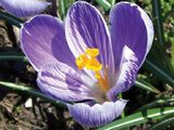 Saffron Crocus - fall-blooming perennial produces true Saffron.  Likes good spring rains, dry summers, and temps not lower than 10 below.  zone 6-9.