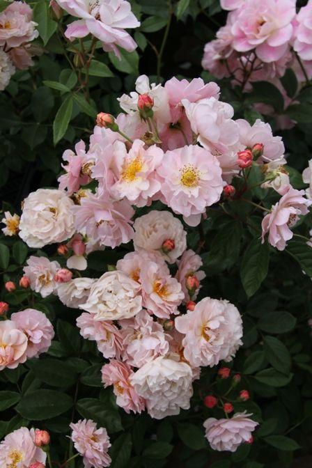 ~Hybrid Musk Shrub Rose: Rosa 'Cornelia' (U.K., 1925)