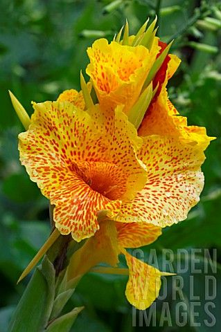Canna Lily 'Cleopatra'. I have this one and it multiplies like crazy. I planted one about 5 years ago and now have dozens.