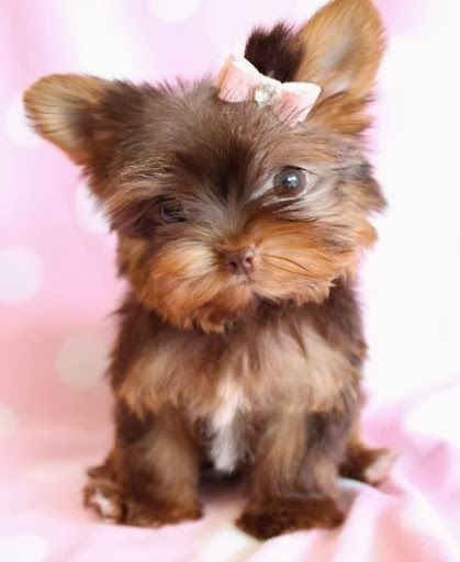 Teacup Yorkie please someone just once before I die can I have one?