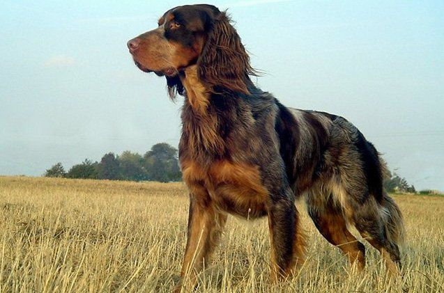 The Picardy Spaniel is actually one of the oldest continental spaniel breeds.