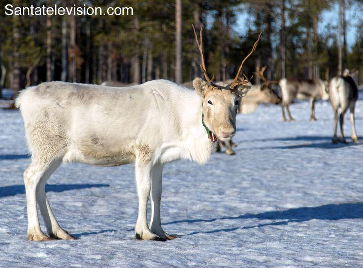Reindeer in Rovaniemi in Lapland