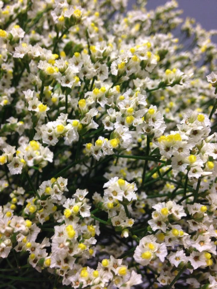 Norsk navn: Statice Botanisk navn: Limonium 'White Diamond'