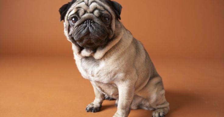 Como cuidar de um cachorro depois de uma cirurgia. Pode ser devastador quando seu cachorro chega em casa depois de uma cirurgia. O seu amado animal de estimação vai precisar de carinho, mas também é importante ouvir com atenção as instruções do veterinário e manter a calma do cão. Leia sobre isso para obter mais informações de como cuidar de um cão após uma cirurgia.