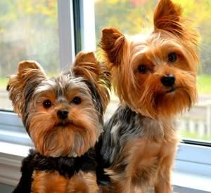 Your Yorkie Potty training questions answered!
