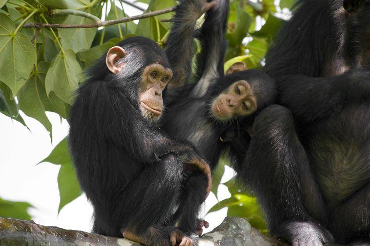 Vi följer i spåren av våra närmsta släktingar – chimpanserna. Vi möts i parkens huvudkvarter och beger oss därifrån ut i skogen sökandes efter chimpanser.