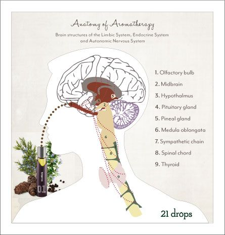How Aromatherapy Works:  Inhalation:    When essential oils are inhaled through the nose, aromatic molecules are carried through the lining of the nasal cavity via tiny olfactory nerves, located in the roof of the inner nose, to the part of the brain called the limbic system. The limbic system in turn influences the endocrine system and the autonomic nervous system.   Re-Pinned publicly by www.DianesOils.com :)