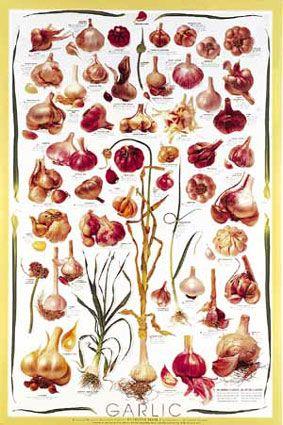 8 best Garlic Art images on Pinterest   Botanical prints, Garlic ...