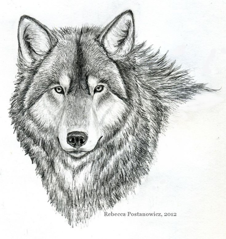 easy pencil sketches of animals wolf pencil drawing by