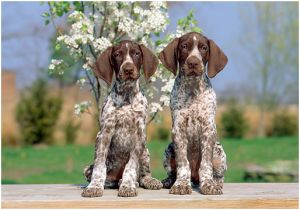 CJ, A GERMAN SHORTHAIRED POINTER, WINS BEST IN SHOW AT WESTMINSTER: WE BREAK DOWN THE GOOD, THE NOT SO GOOD, AND THE ADORABLENESS OF THIS BREED