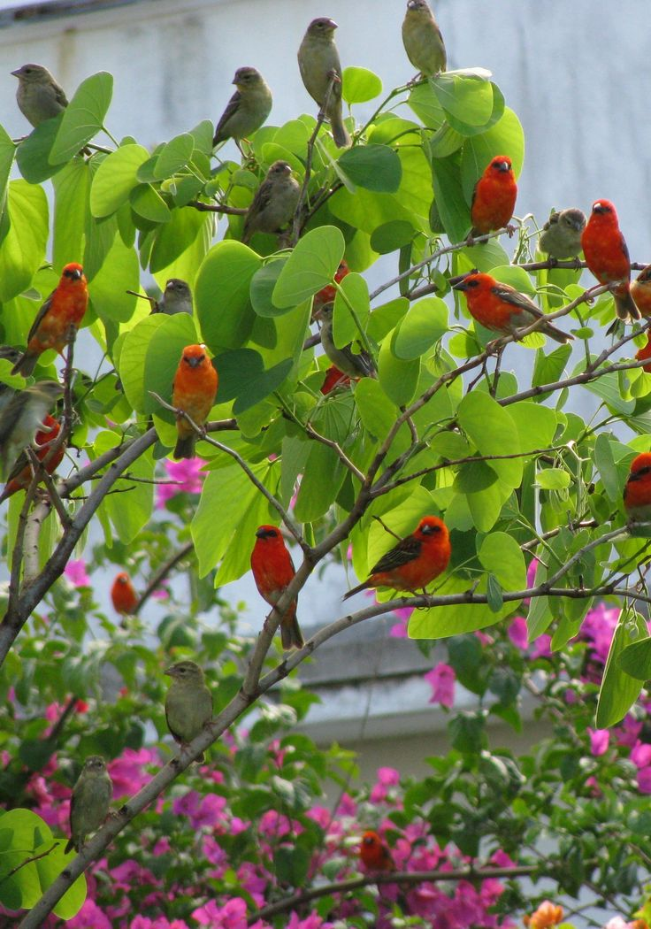 Mauritius : The bingalis - the male is a stunning red or bright orange in Summer