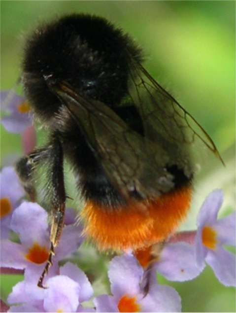 "Bombus lapidarius, Red tailed Bumble Bee - this beautiful bee is part of the ""Bumble"" Bee family."