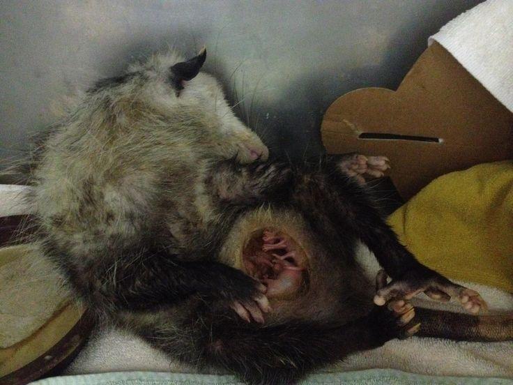 Sleeping opossum with ...