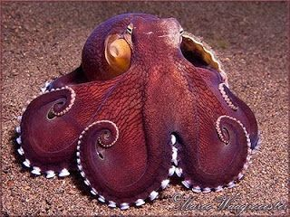 Everything Octopus: Species: Coconut Octopus or Veined Octopus - Amphioctopus marginatus