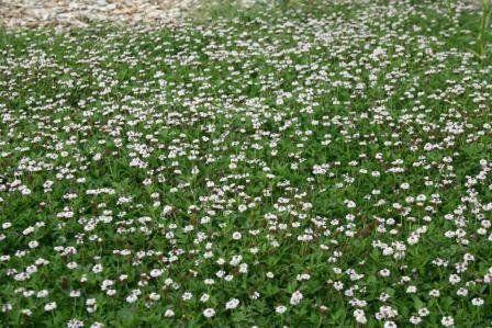 jardinitis: Lippia nodiflora, una alternativa sostenible al césped