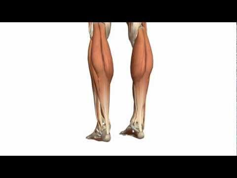 ▶ Muscles of the Leg - Part 1 - Posterior Compartment - Anatomy Tutorial - YouTube