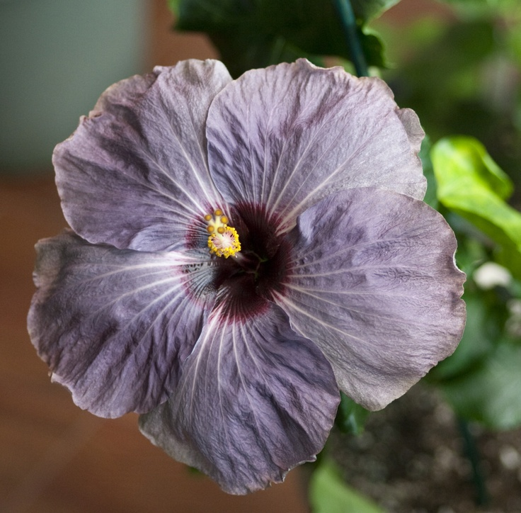purple hibiscus summary Summary fifteen-year-old purple hibiscus is an exquisite novel about the emotional turmoil of adolescence, the powerful bonds of family, and the bright promise.