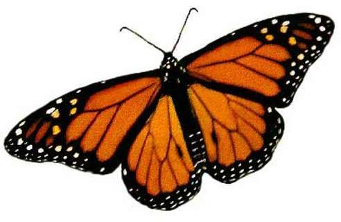 How Long Do Monarch Butterflies Live. The question of how long do monarch butterflies live has been an interesting one, as the answer sets them apart from many other species of butterfly.