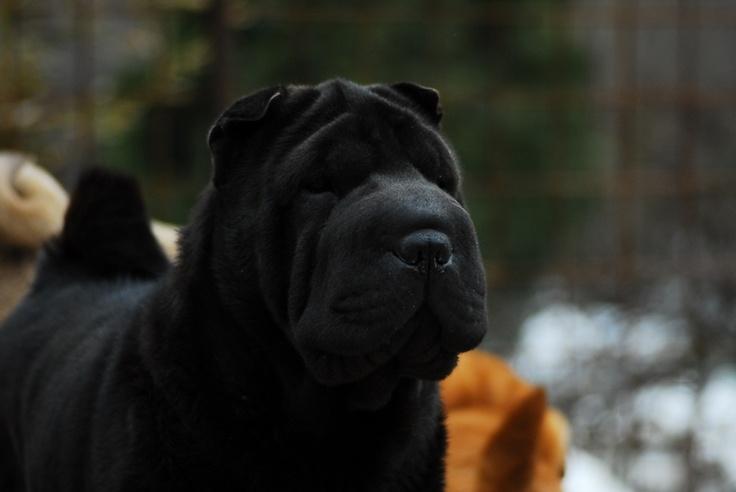 black shar pei...I'd call him Midnight :-)