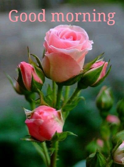 164 best good morning quotes for her images on pinterest - Good morning rose image ...