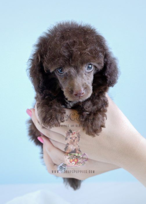Chocolate Toy Poodle For Sale #153