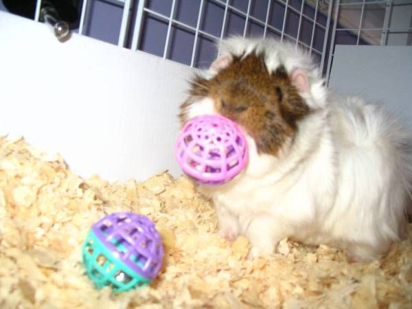 Jingle Balls! Kaluah Loves to grab hold of these and shake them like crazy. A great cavy toy