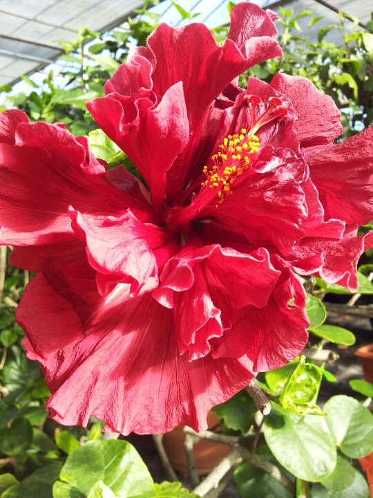1000+ images about Plants - Hibiscus on Pinterest